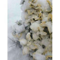 美国红点红枫 金冠黄杨优势-金冠黄杨图片