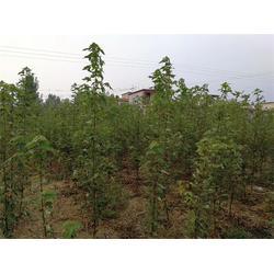 红点红枫厂家-大连红点红枫-韵可园林绿化(查看)图片