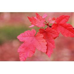 红点红枫基地-韵可园林(在线咨询)-武威红点红枫图片