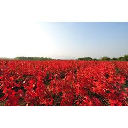 优质红点红枫-韵可园林(在线咨询)铁岭红点红枫图片