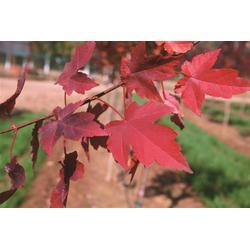 紅點紅楓廠家-山東韻可園林綠化苗木-雞西市紅點紅楓圖片