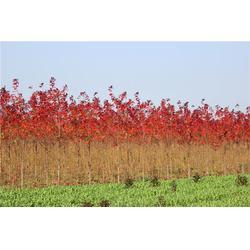 丛生红点红枫-韵可园林绿化-丛生红点红枫基地图片