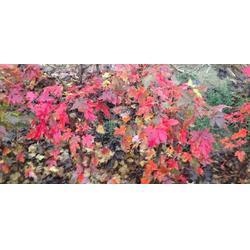 优质红点红枫-山东韵可园林绿化苗木-阜新红点红枫图片