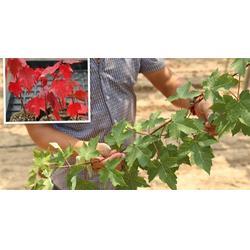 红点红枫低价-十堰红点红枫-山东韵可园林图片