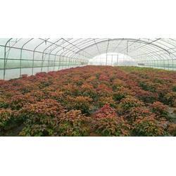 昊林園林,紅葉南天竹小苗,紅葉南天竹圖片