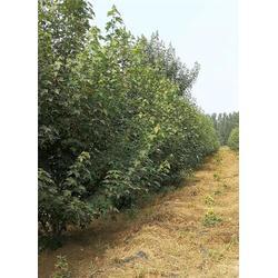 丛生美国红枫种植基地-丛生美国红枫-韵可园林绿化(查看)图片