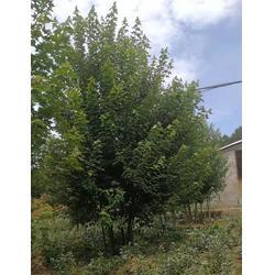 丛生美国红枫-丛生美国红枫-泰安韵可园林(查看)图片
