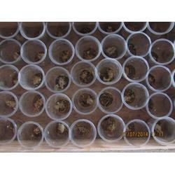 西九养殖(图)、全蝎养殖、北京蝎子图片