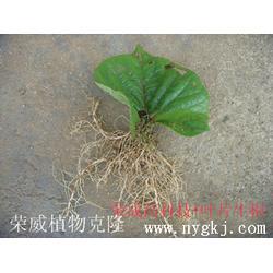 新品种苗木生根-新品种苗木育苗-新品种苗木图片
