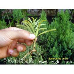 荣威植物克隆生根技术 植物克隆繁殖-陕西植物克隆图片
