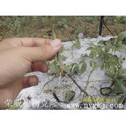 植物克隆技术培训-荣成荣威种植园(在线咨询)云南植物克隆图片