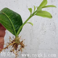 植物克隆快繁技术-植物克隆-荣成荣威种植园(查看)图片