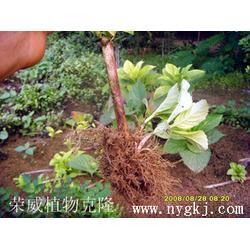 植物克隆技术-荣威植物克隆育苗技术-海南植物克隆图片