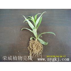 植物克隆技术-荣成荣威种植园(在线咨询)黑龙江植物克隆图片