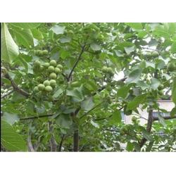 九州苗业|求购麻核桃苗|林州麻核桃苗图片