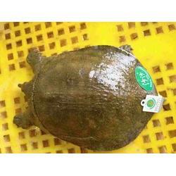 【华乙甲鱼】(图),哪里有卖生态甲鱼苗,成都甲鱼苗图片