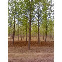 9公分银杏树、【银杏树价钱】、银杏树图片