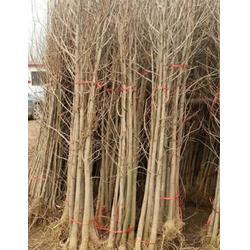 24公分银杏树|【银杏树价钱】|银杏树图片