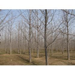 白果树|【银杏树价钱】|白果树小苗图片