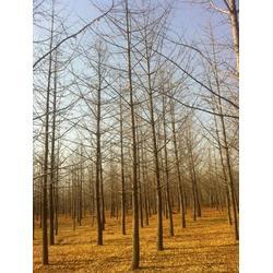 益阳市银杏树、【银杏树价钱】、收购银杏树图片