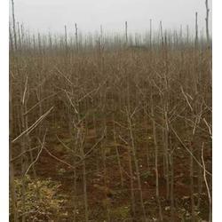 宣威银杏树苗|【银杏树价钱】|哪里有银杏树苗图片