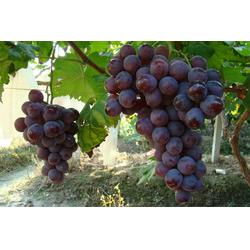 歌润思农业 周边葡萄采摘-南岸葡萄采摘图片