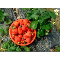 歌润思农业(图)、新鲜草莓采摘、草莓采摘图片
