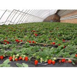 歌润思农业,自摘草莓,摘草莓图片