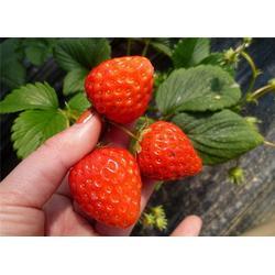 歌润思农业 周边摘草莓-摘草莓图片