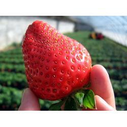 歌润思农业、草莓种植、草莓图片
