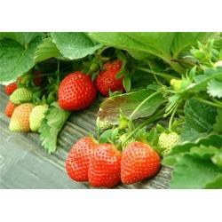 歌润思农业、草莓采摘游、草莓采摘图片