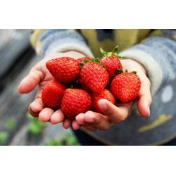 歌润思农业,种草莓,草莓图片