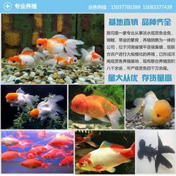 承德金鱼养殖_汇统观赏鱼品种纯正(在线咨询)_金鱼养殖图片