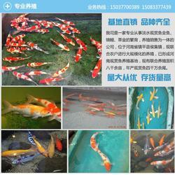 锦鲤鱼苗预订(图)、水花最新预订开始、水花最新预订图片