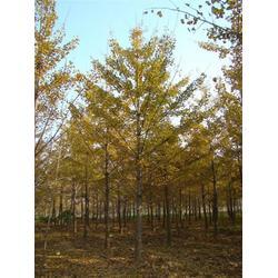 10公分白果树,白果树,白果树图片