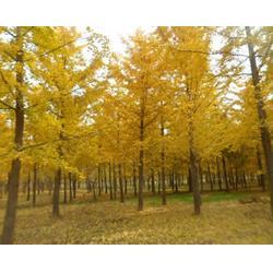 彭泰银杏(图)_8公分银杏树_银杏树图片