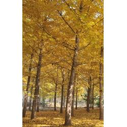 彭泰银杏(图) 银杏树多少钱颗 银杏树多少钱图片