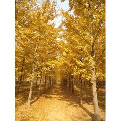彭泰银杏(图)、苗木银杏树、银杏树图片