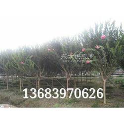 潢川3公分紫薇,6公分石楠图片