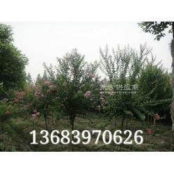 潢川1公分桂花,6公分紫薇图片