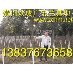 3公分,4公分,5公分广玉兰,潢川金桂图片