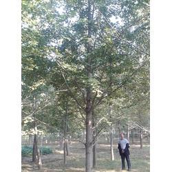 30银杏树,银杏树,富东银杏(查看)图片