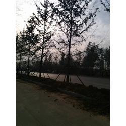 富东银杏(图)_徐州银杏古树园_银杏古树图片