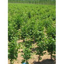富东银杏(图)|白果树哪里找|江苏白果树图片