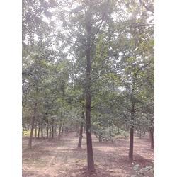 15公分银杏实生树、富东银杏(在线咨询)、银杏实生树图片