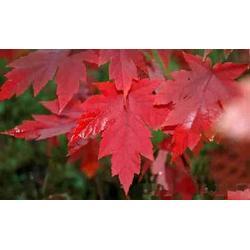 顺鑫园林(图),红点红枫苗木,聊城红点红枫图片