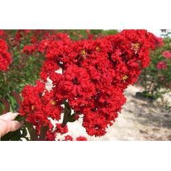 供应红火球紫薇树苗,顺鑫园林(在线咨询),红火球紫薇树苗图片