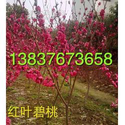潢川3公分4公分5公分6公分红叶碧桃图片