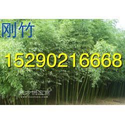 5米刚竹6公分早园竹产地图片