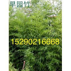 潢川2.5米早园竹3公分刚竹图片